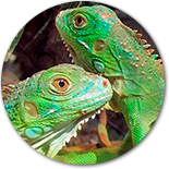 Adopcion de reptiles en Madrid.